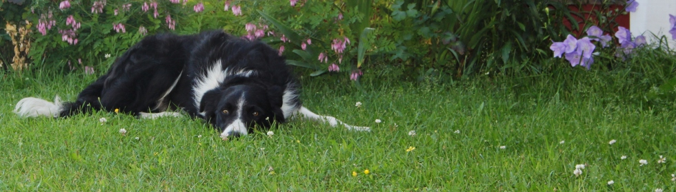Vallhund